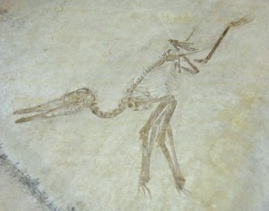 A pterodactyl skeleton.  Photo by Lin1